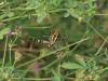 puch_2010-07-31_25_wespenspinnen-weibchen
